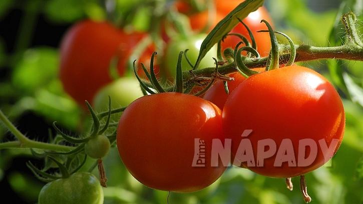 Rozhodně nesázejte rajčata po bramborách kvůli přenosu plísní a houbových chorob