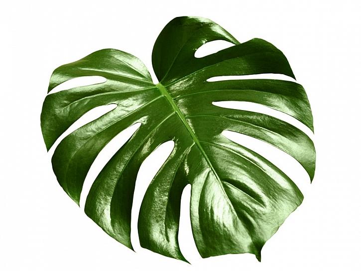 Rostliny, například monstera, dokážou odstraňovat znečišťující látky z ovzduší u vás doma