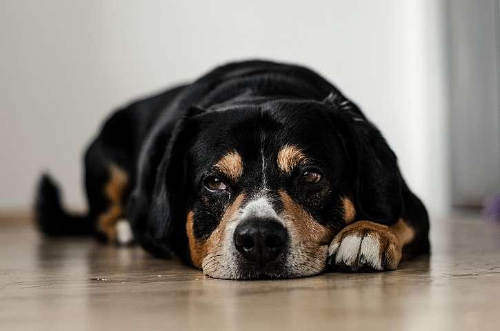 Dilatace a torze žaludku je noční můrou každého majitele psa