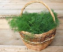 Vypěstujte si kopr v květináči i na záhonu