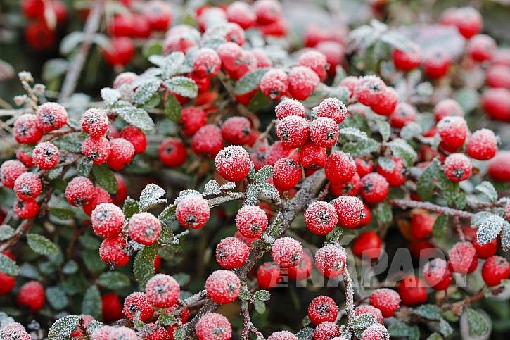 Červené plody skalníku