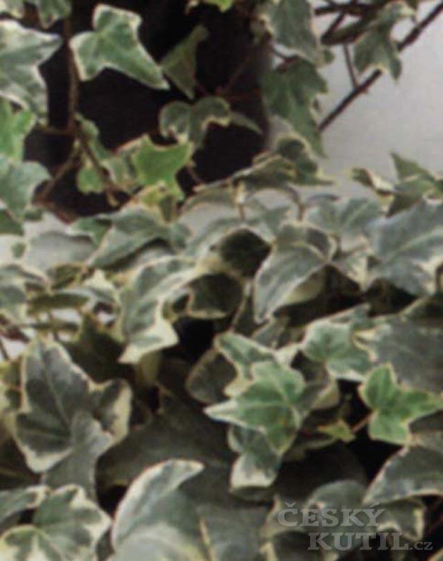 Hedera – pestrolisté druhy