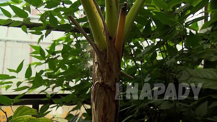 Pěstování banánovníků
