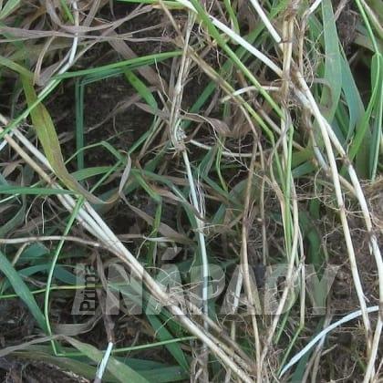 Jarní detox: pýr plazivý (Elytrigia repens)