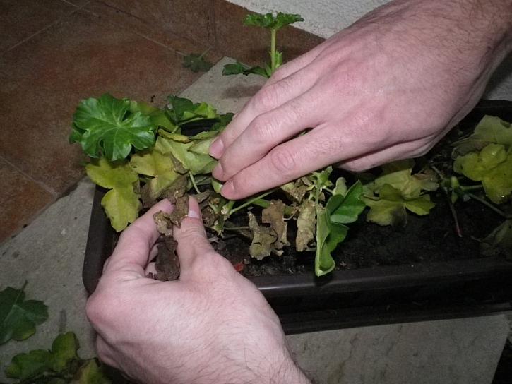 Suché a napadené listy odstraníme