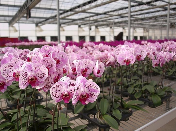 Orchidee ve skleníku