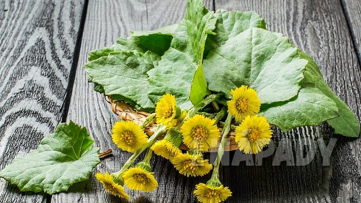 Léčivé účinky mají květy i listy podbělu lékařského (Tussilago farfara)
