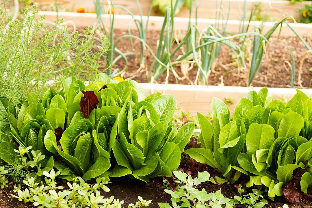 obrázek tématu: Pěstování zeleniny
