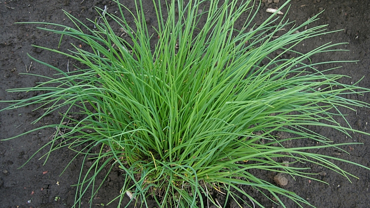 Pažitka pobřežní (Allium schoenoprasum): odrůda Praga