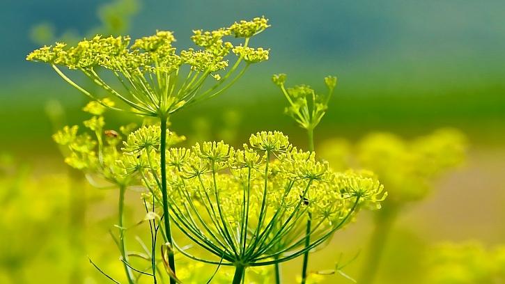 Fenykl obecný (Foeniculum vulgare)je víceletá bylina, vzhledem připomíná kmín a kopr