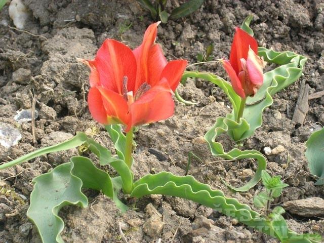 Tulipán – původní botanické druhy
