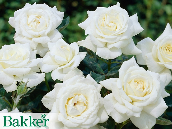 Zahrada plná růží