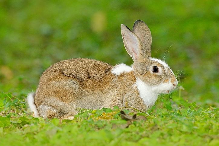 Samice králíka