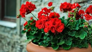 Svět muškátů: 5 tipů, jak vypěstovat nejkrásnější pelargonie