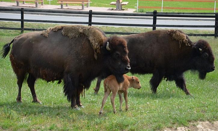 Šiklův mlýn zahajuje sezónu křestem bizoního mláděte