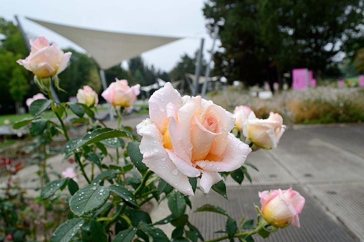 Vyznání růžím - oslava růží v olomouckém Rozáriu (Zdroj: Výstaviště Flora Olomouc)