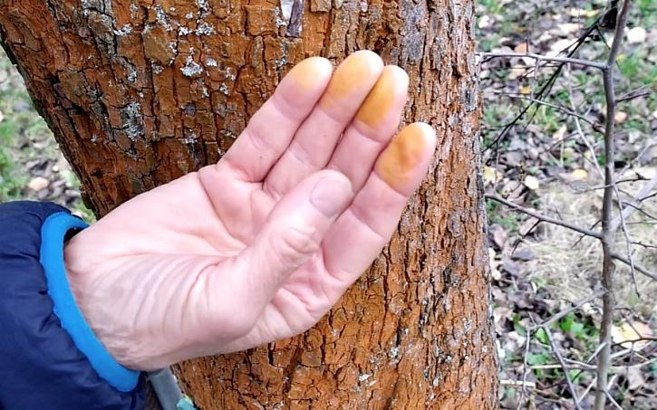 Bílení kmenů stromků před zimou