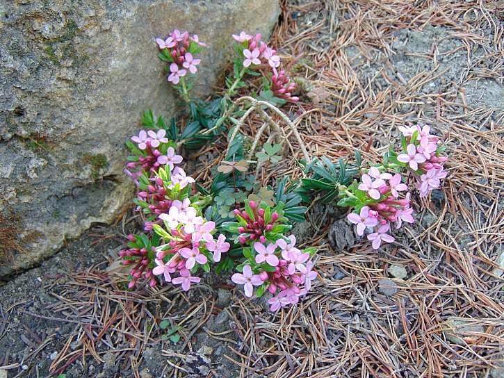 Poléhavý lýkovec růžové barvy krásně voní v zahradě