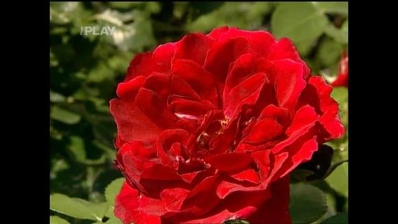 Péče o růže na podzim