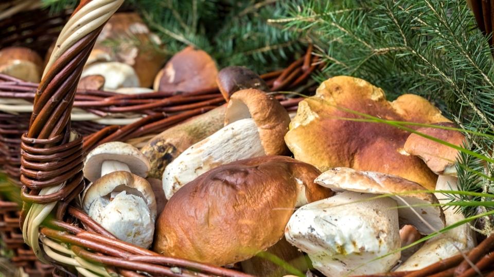 NEJ houby: Hřiby nejkrásnější, nejlepší a nejznámější