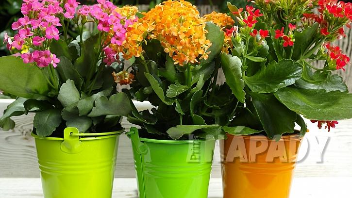 Pokojové rostliny potřebují na jaře přesadit: vdobě květu přihnojujeme jednou až třikrát za měsíc