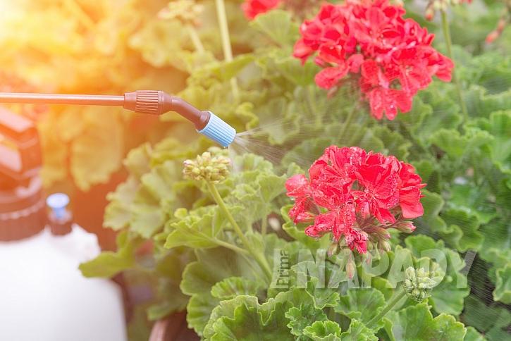 Postřik květin proti škůdcům