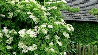 Jak udělat z bezových květů sirup, ocet nebo čaj aneb Před heřmánkem smekni, před bezem klekni
