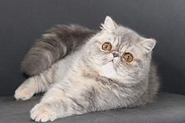 Perská a exotická kočka, plemena, která se mohou vzájemně křížit