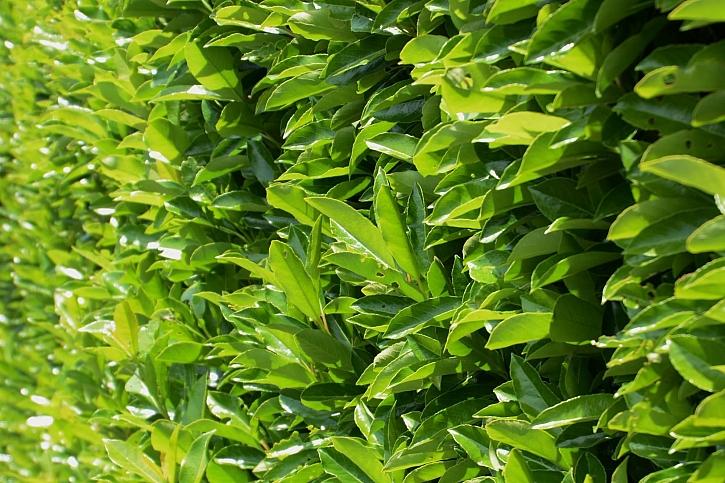 Jaké rostliny vybrat pro stálezelený živý plot? (Zdroj: Zahradnictví flos)