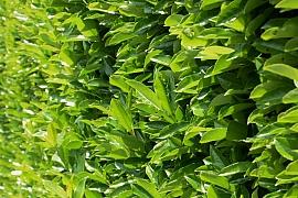 Jaké rostliny vybrat pro stálezelený živý plot?
