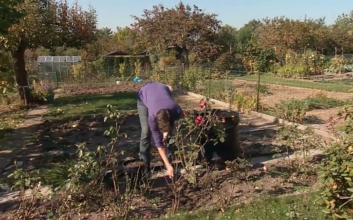 Příprava růží na zimu - rostliny nakopčíme