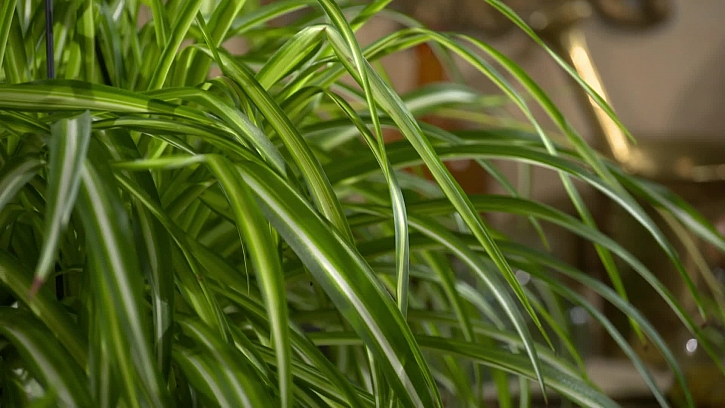 Listy zelence
