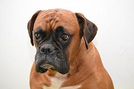 Německý boxer je skvělý parťák pro celou rodinu aneb Pes takřka bezúdržbový