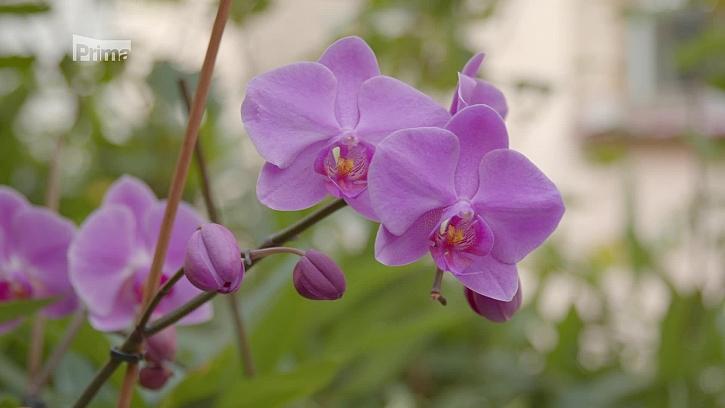 Zahradní poradna Lídy Duškové a Jana Kopřivy vám poradí, jak se postarat o orchideje a bylinky (Zdroj: Prima DOMA)