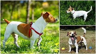 Kupírování psích ocasů: Zakázáno? Povoleno? Jak to vlastně je