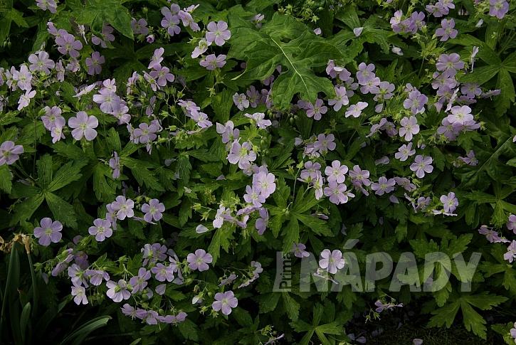 4 kakosty jsou velmi nenáročné stínomilné trvalky, které bohatě kvetou