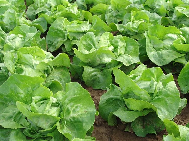 Kromě celeru nezapomeneme ani na výsev salátu