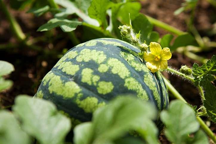 Meloun v záhonu