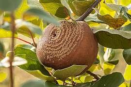 Moniliová spála na jabloních nás připraví i o celou úrodu