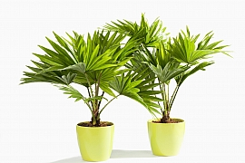 Pěstujeme palmy ze semen