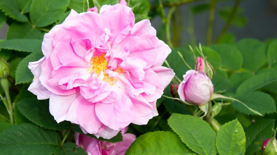 Růžové květy jsou krásné! Ale víte, že jsou taky léčivé?