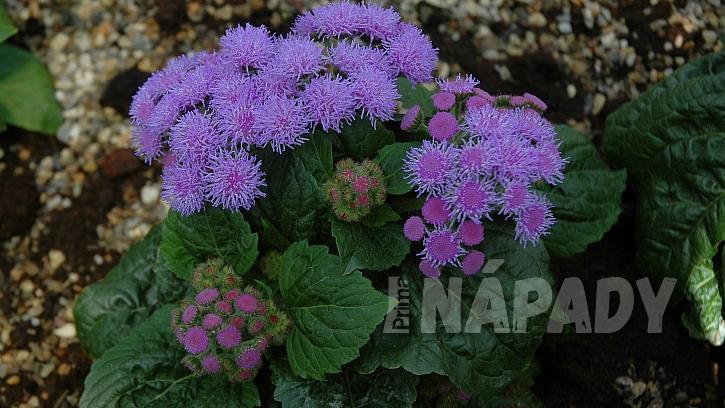 Nestařec mexický (Ageratum houstonianum) Tetra Blue Mink