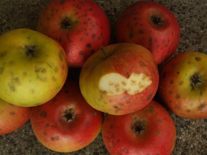 Takto napadené ovoce se nedá jíst kvůli nadměrně hořké chuti