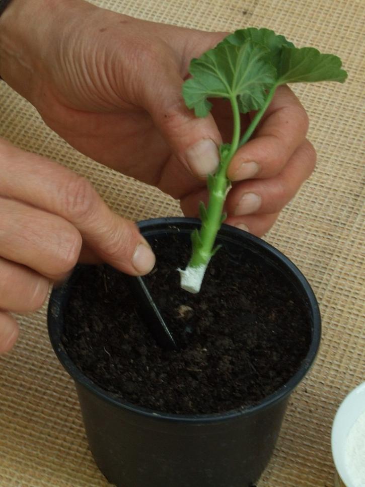 Rostlinku vložte do jamky