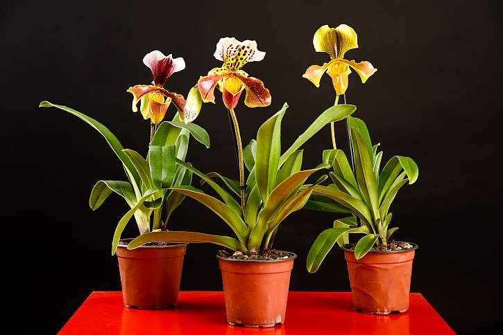 Lady Slipper je oproti jiným druhům orchidejí poměrně odolná