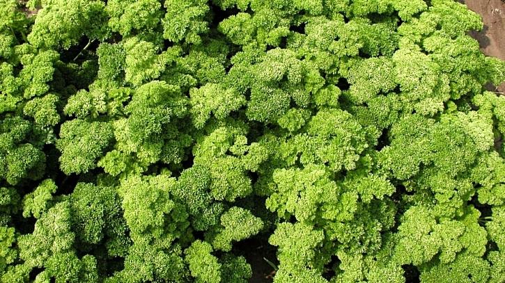 Petržel zahradní naťová kadeřavá: odrůda MARUNKA