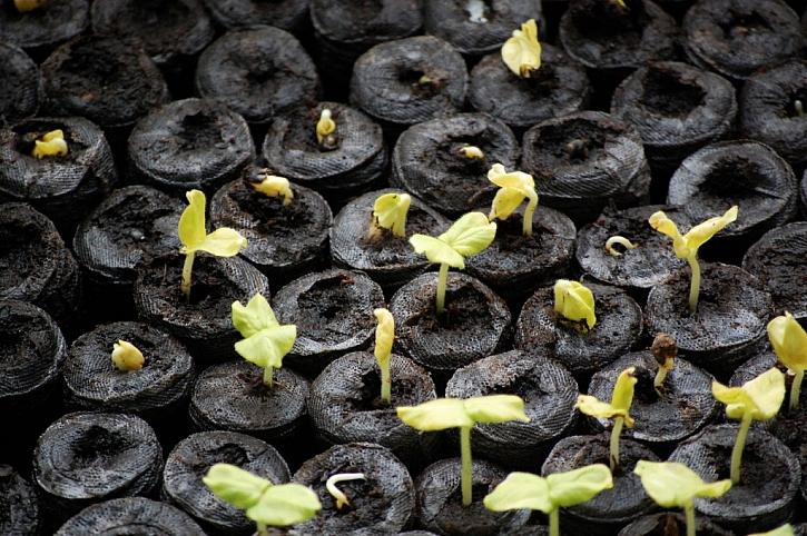 Klíčící semenáčky v Jiffy balu