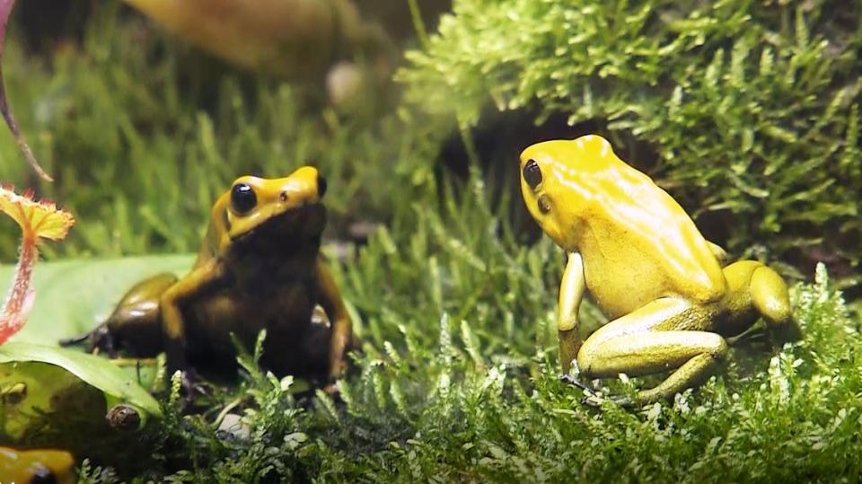 Pralesničky: Jak na chov žab, zvaných šípové