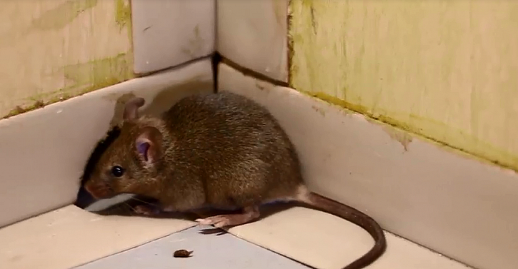 Potkan je všežravec