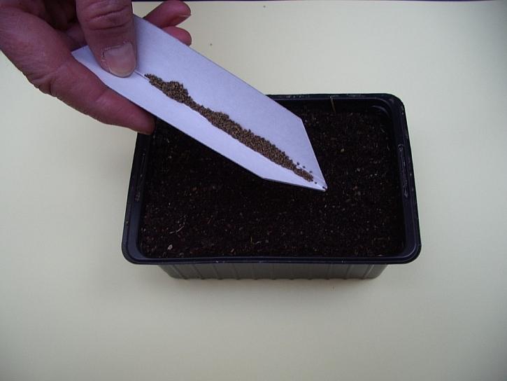 Celer můžeme pěstovat i doma za oknem